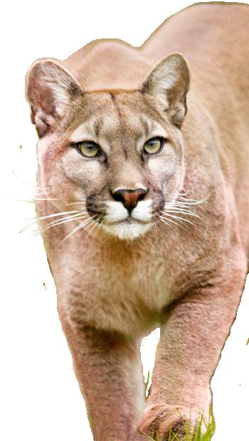 Ohio cougar